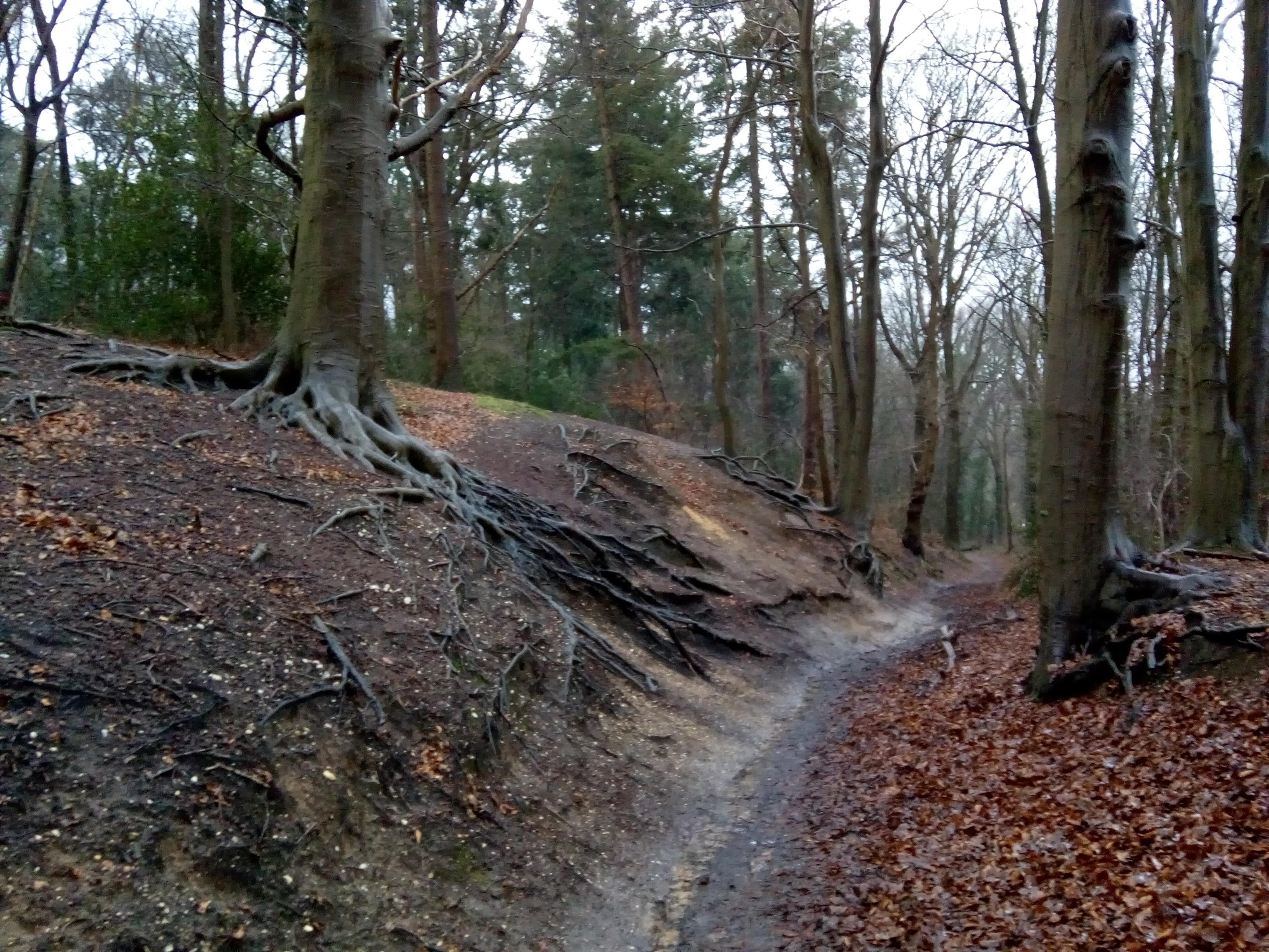 Een uitgesleten bospad op de Kaleberg, dat zo de kale wortels van oude beuken toont.
