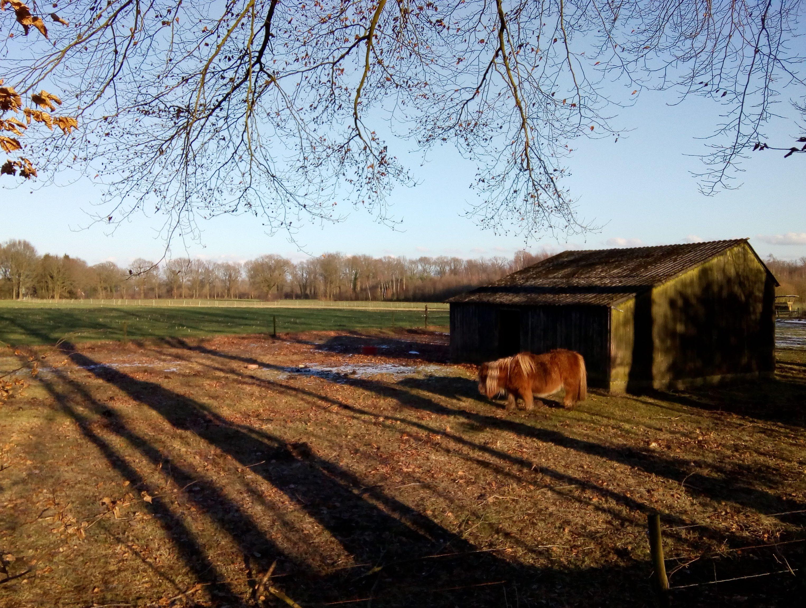 Een pony in de wei, met lange schaduwen van de winterzon