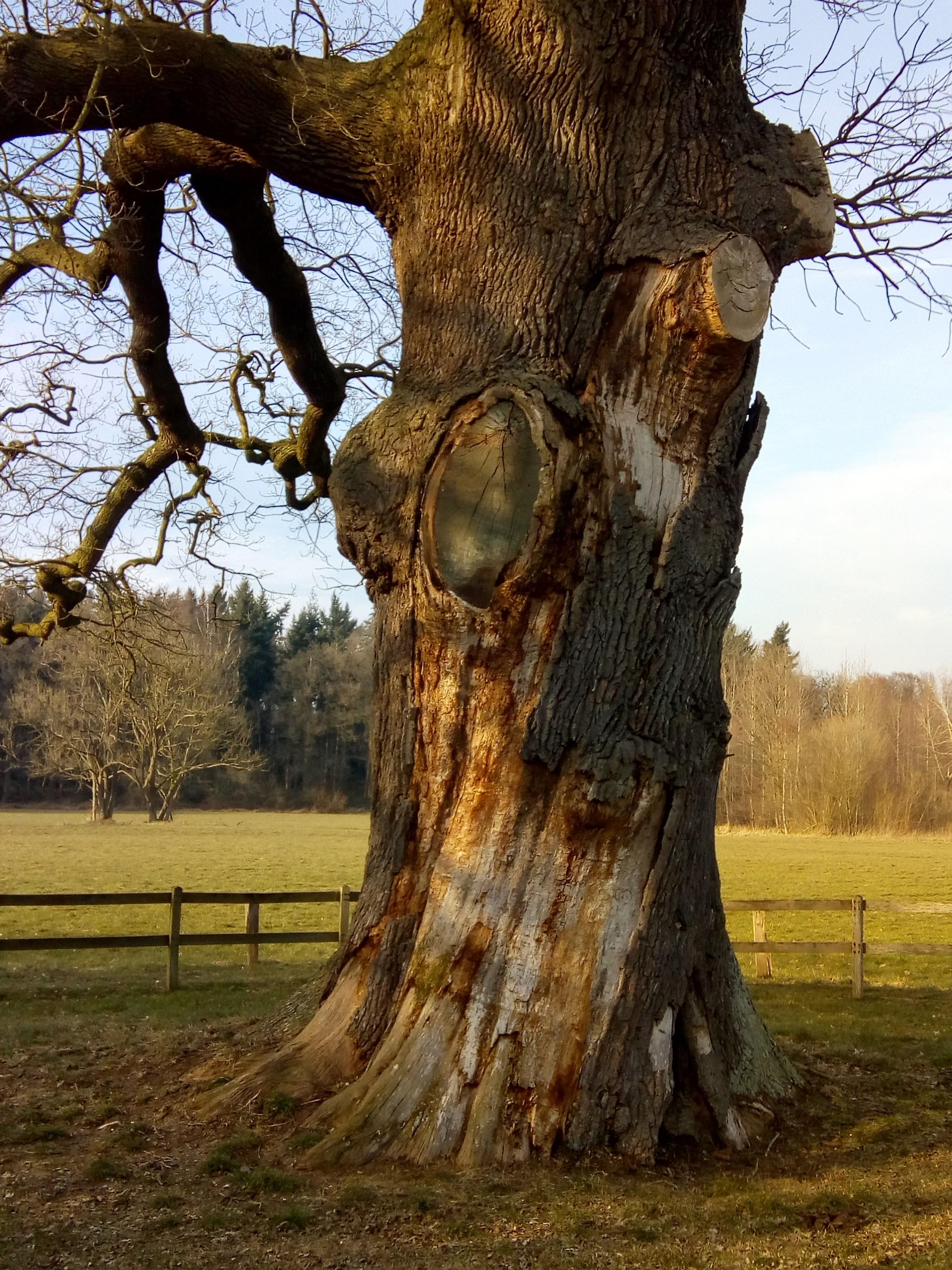De dikke boom van Verwolde is toonbaar gehavend.